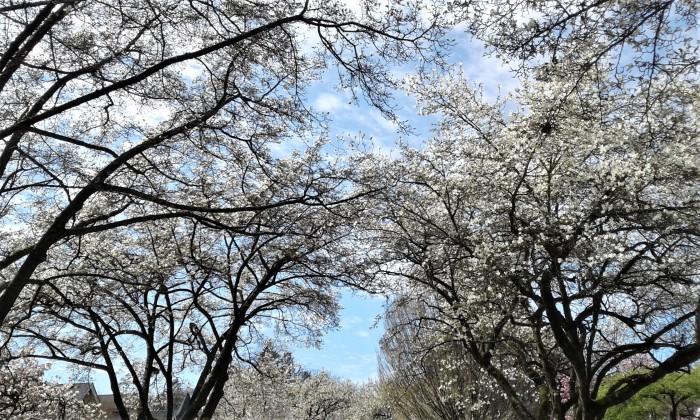 Cherry blossom tress